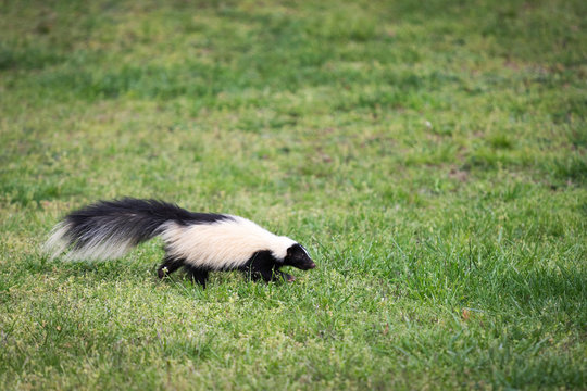 A curious skunk walks through a yard in Southwest Virginia and smells the grass. Skunks are known for their ability to spray a fowl smelling liquid as their defense mechanism.