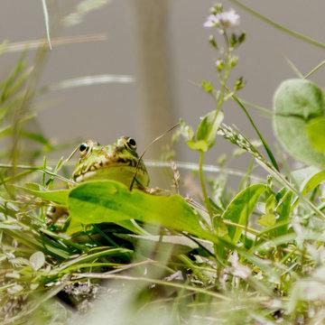 grenouille verte espace vie nature