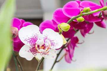 Close up of white Orchid at my home, Scientific name