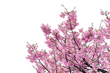 Wall Mural - Pink flower, Cherry blossoms tree isolated on white background.