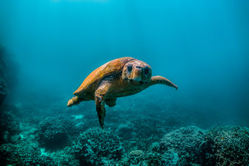 Wild Sea turtle swimming freely in open ocean among colorful coral reef
