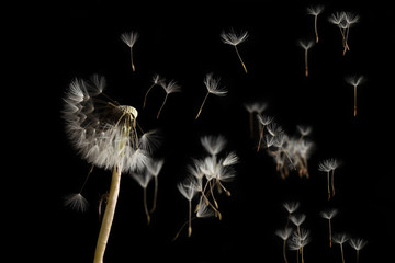 Tuinposter Paardenbloem Dandelion seeds blowing in the wind on a black background