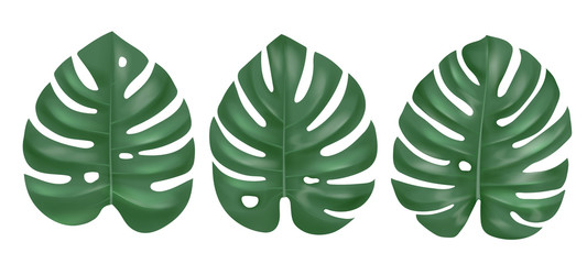 Wall Mural - Vector set of three realistic green monstera leaves isolated on white background