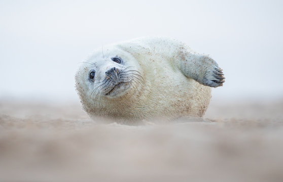 Grey seal pup lying on a beach in Norfolk UK.  Looking directly at the camera.