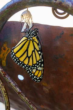 Monarch butterfly emergng from chrysalis
