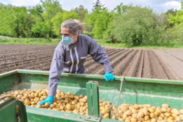 Female farmer harvesting potatoes  and wearing protections against coronavirus