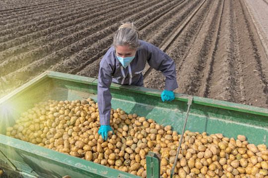Female farmer harvesting potatoes behind the tractor  and wearing protective  mask against coronavirus