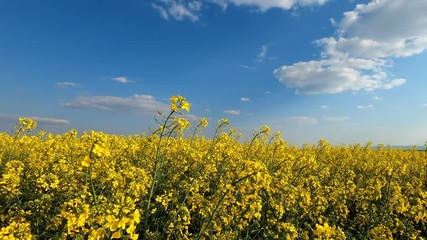 Wall Mural - Beautiful blooming rapeseed field against blue sky