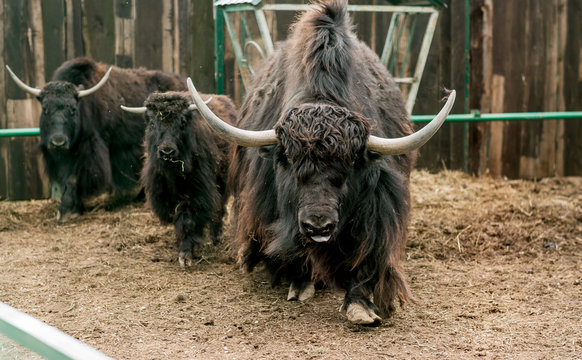 yaks in a cage