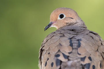 Wall Mural - Close Profile of a Mourning Dove While Perched on a Branch