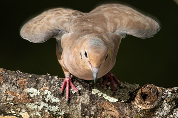 Wall Mural - Mourning Dove About to Hop from a Weathered Tree Branch