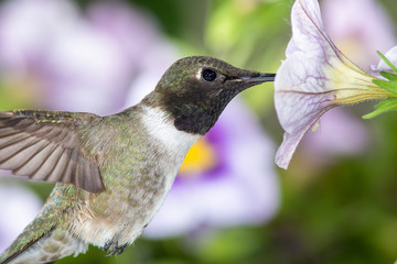 Wall Mural - Black-Chinned Hummingbird Searching for Nectar Among the Violet Flowers