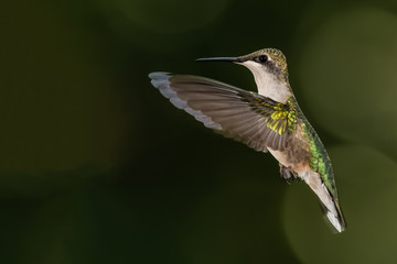 Wall Mural - Ruby Throated Hummingbird Hovering in Flight Deep in the Green Forest