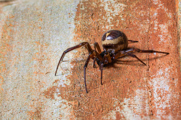 False widow,  Steatoda nobilis, spider, resting on wooden slats