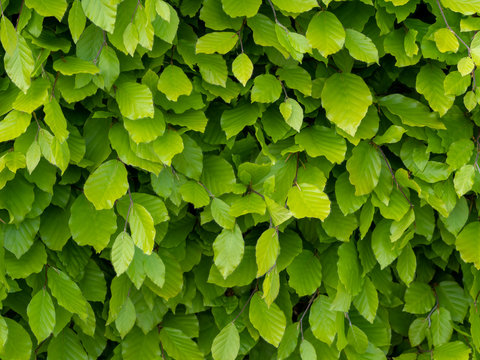 Fresh green beech hedge, leaves in spring, closeup. Background. Fagus sylvatica.