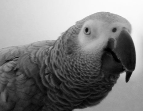 Close-up Of African Grey Parrot Perching Outdoors