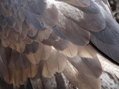 Close-up Of Bonelli Eagle Feathers