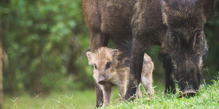 Wild Boar With Piglet On Grassy Field