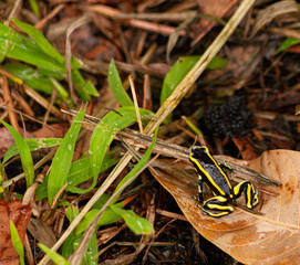 Fotobehang Kikker Yellow striped poison dart frog about to jump and escape.