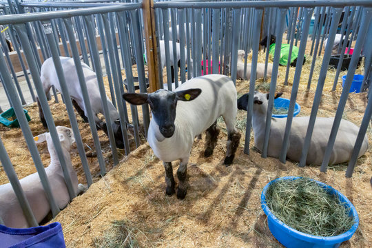 View of Dutch white sheep with a black face in a show stall at County Fair, with additional sheep in stalls in background