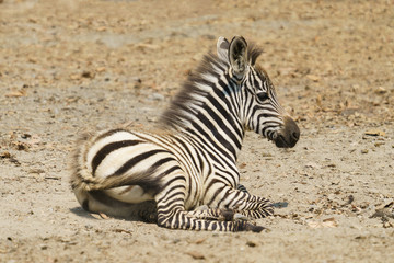 Wall Mural - young zebra resting on the ground