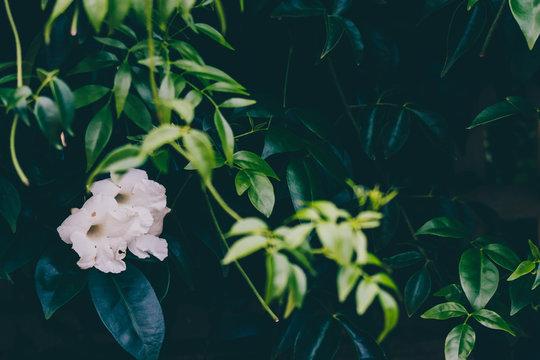 white mandevilla vine plant outdoor in sunny backyard