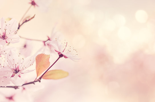 Close-up Of Cherry Blossoms Blooming Outdoors