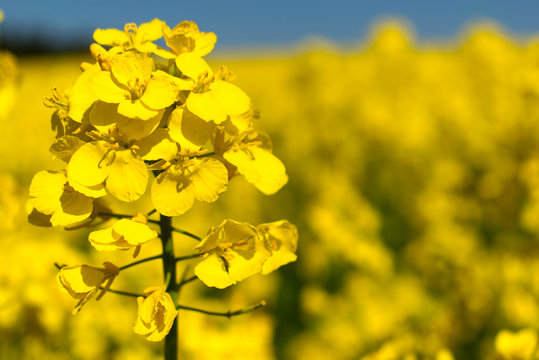 Rapefields the yellow nature spectacle