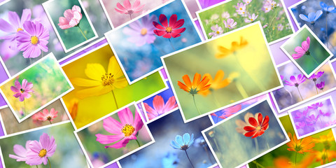 Collage of cosmea flowers, banner. Many pictures of flowers. Beautiful floral spring and summer...