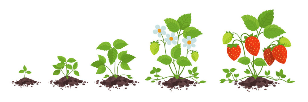 Strawberry plant growth stages. Fragaria development. Harvest animation progression. Berry ripening period vector infographic.