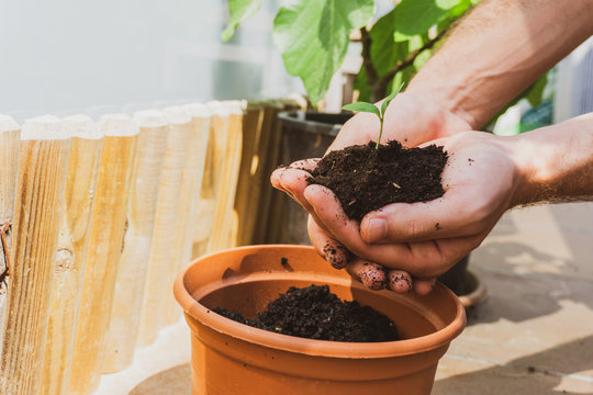 Man planting little plant. Balcony gardening. Eco friendly and natural concept. Man holding a plant and soil.