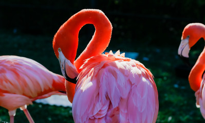 flamingos preening in the sun with dark background