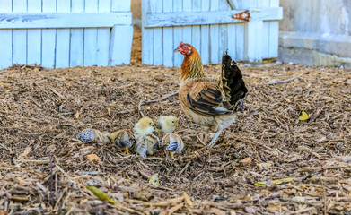 Mother chicken with baby chicks with defocused background