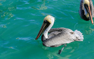 Grey pelican floats in turquoise blue water so clear you can see feet