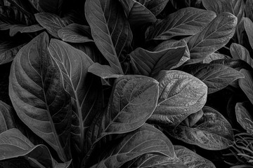 Wall Mural - abstract monochrome leaf texture, nature background, tropical leaf