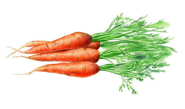 Carrots. Hand drawn watercolor. Romantic background for web pages, wedding invitations.