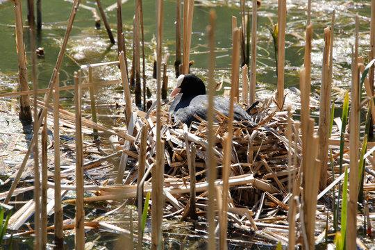 Cool, Ralle, Bird, Water bird, Reinhartsbrunn, Thueringen, Germany, Europe