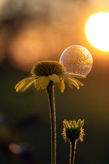 Echinacea flower with a bubble on sunrise