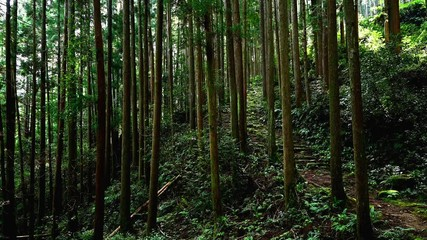 Wall Mural - 熊野古道大雲取越の杉林と古道
