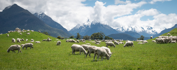 Foto op Aluminium Schapen Panoramic shot of herd of sheep grazing on the green meadows with mountains in backdrop, shot in Glenorchy, New Zealand