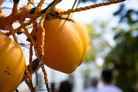 Fresh village topical mango in a tree at Nadi Fiji holiday
