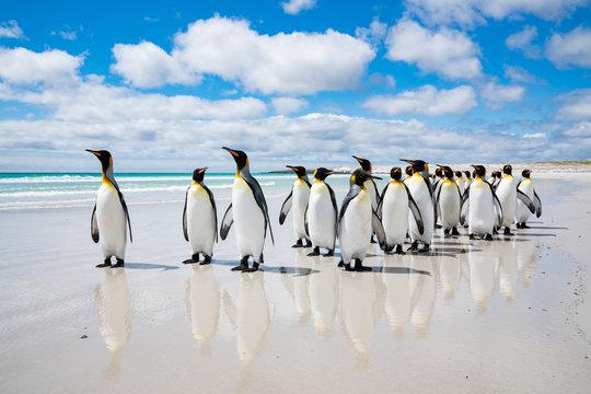ペンギンの群れ フォークランド諸島,ボランティアポイント,Earththeater