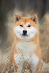 Fototapete - Beautiful portrait of a Shiba dog in the autumn grass. The photo is of good quality.