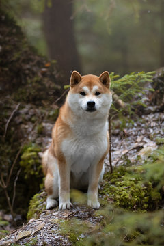 Beautiful portrait of a Shiba dog on the background of a forest. The photo is of good quality.