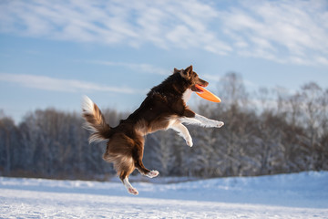 Fototapete - Beautiful Border Collie dog in the snow. High quality photo