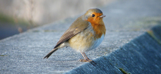 Close-up Of Robin Bird Perching On Retaining Wall
