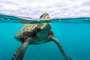 Green sea turtle breathing