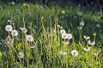Pusteblumen-Feld Fotoväggar