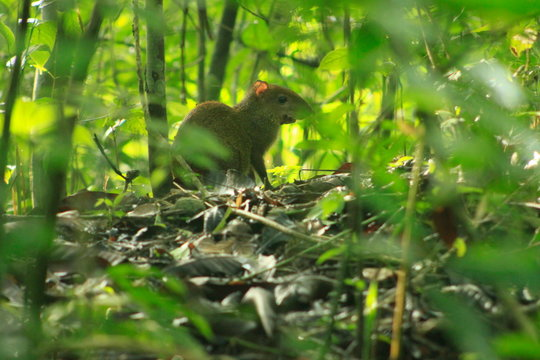 Agouti Amidst Plants On Field