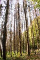 Waldsterben von Tannen im Hotzenwald